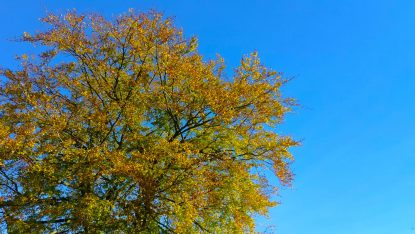 Surrey, UK. Green Becomes Gold Against A Crystal Clear Bluy Sky As Autumn Begins To Take Hold